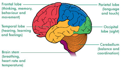 Cerebellum4 moreover Index furthermore Skull together with 9349790 together with Working Memory. on brain diagram